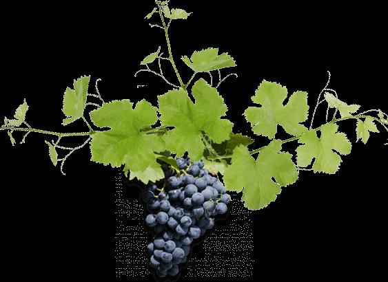Taste The Barossa Grapes
