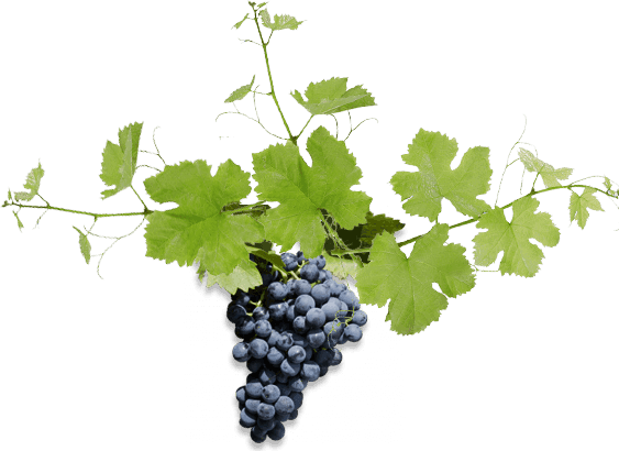 Taste The Barossa Grapes